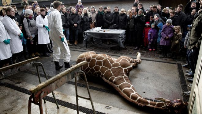 Danish zoo says no plans to kill healthy giraffe