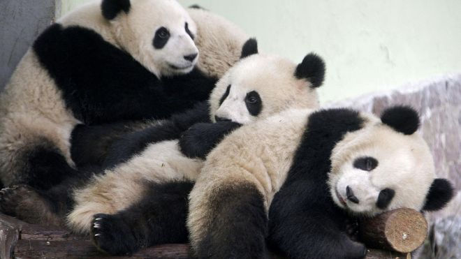 Panda blood may be key to future antibiotics