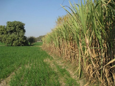 Mills purchased 21.24m tons of sugarcane in current season