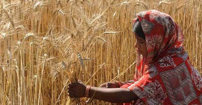 Mills to get 0.6m tons of wheat