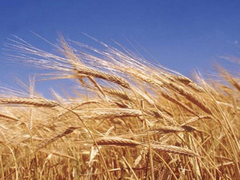 Wheat price fixed at Rs1,200/40kg